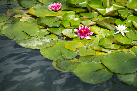 Water lily flowers with green leaves in pond. Lotus blossom on lake surface on sunny day. Buddhism, meditation, zen. Summer, bloom, nature, beauty. Purity, rebirth, divinity concept. 版權商用圖片