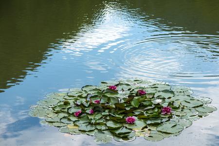 Pureza, renacimiento, concepto de divinidad. Flor de Lotus en la superficie del lago en un día soleado. Verano, floración, naturaleza, belleza. Flores de lirio de agua con hojas verdes en el estanque. Budismo, meditación, zen. Foto de archivo - 89106624