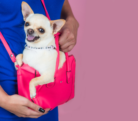 Chihuahua dog smiling in pink bag. Puppy face with happy smile on violet background. Pet, companion, friend, friendship. Protection, alertness, bravery. Devotion and constancy concept. Imagens