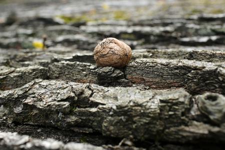 season and harvest, tree bark textured background with walnut in autumn, healthy food and vitamin Zdjęcie Seryjne
