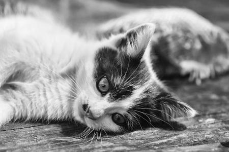 귀여운 새끼 고양이, 고양이 애완 동물, 회색 배경에 나무 보드 야외에 누워 노란색 눈, 수염이 고 모피 코트, 흑인과 백인, 작은 국내 동물