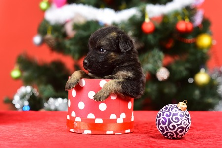 Year of dog, holiday celebration. New year, cute puppy gift. Boxing day and winter xmas party. Dog year, pet and animal on red background. Santa puppy at Christmas tree in present box.