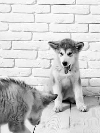Adorable cute husky puppies domestic pet with black nose white and gray soft fur sitting on vintage wooden floor on brick white wall background Stock Photo