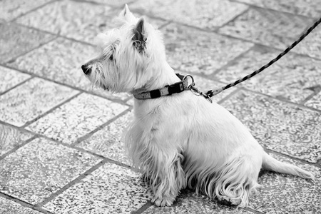 Cute dog west highland white terrier pet sits on leash outdoors on grey pavement
