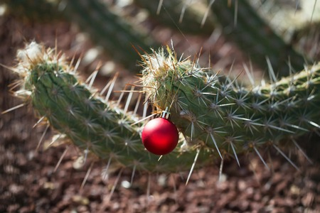 Green cactus or desert thorny plant with sharp spines with bright pink Christmas or new year ball, bauble, outdoors on blurred stony background Stok Fotoğraf