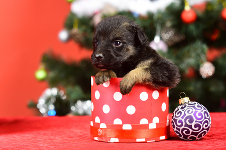 Boxing day and winter xmas party. New year, cute puppy gift. Year of dog, holiday celebration. Dog year, pet and animal on red background. Santa puppy at Christmas tree in present box.