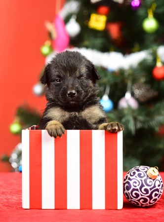 Boxing day and winter xmas party. Dog year, pet and animal on red background. Year of dog, holiday celebration. Santa puppy at Christmas tree in present box. New year, cute puppy gift.