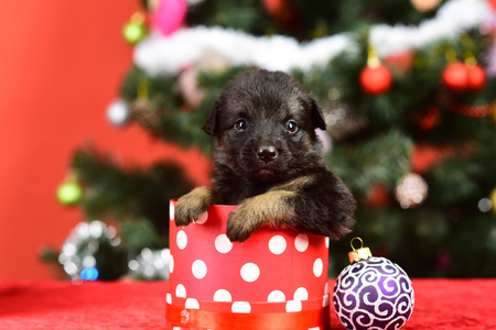 Boxing day and winter xmas party. Dog year, pet and animal on red background. New year, cute puppy gift. Year of dog, holiday celebration. Santa puppy at Christmas tree in present box.