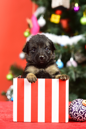 new year of dog, puppy in present christmas box at xmas tree on red background, winter holiday celebration, dog gift Stock Photo