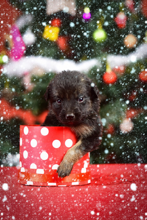 christmas new year snow concept Santa puppy at Christmas tree in present box. Dog year, pet and animal on red background. New year, cute puppy gift. Boxing day and winter xmas party. Year of dog Stock Photo
