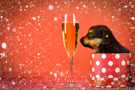 christmas new year snow concept Boxing day and winter xmas party. New year puppy at clock. Year of dog, holiday celebration with champagne in wine glass. Dog year, pet on red background. Santa puppy Stock Photo