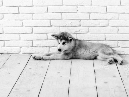 cute adorable husky puppy dog domestic pet with black nose and gray soft fur laying on vintage wooden floor on brick white wall background, copy space