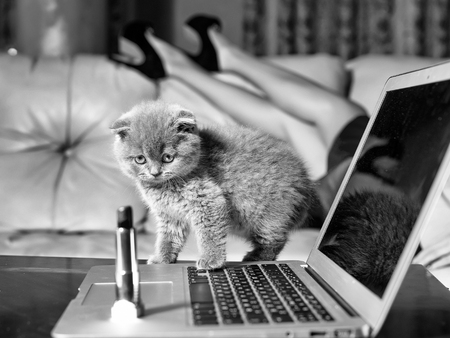 Small funny Kitten grey color on laptop near red lipstick with female glamour legs in shoes on background 版權商用圖片