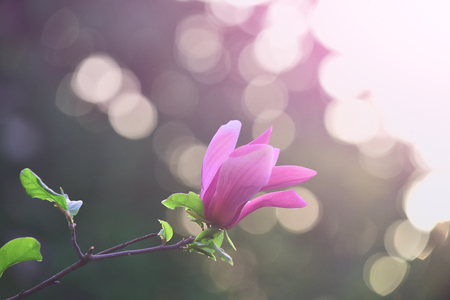 Spring, nature, beauty. Magnolia flower purple blossom on bokeh natural background. Nobility, perseverance, dignity concept. Flourishing, success, youth