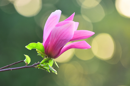 Magnolia flower purple blossom on bokeh natural background. Spring, nature, beauty. Nobility, perseverance, dignity concept. Flourishing, success, youth Reklamní fotografie