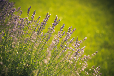 Bloom, flowering, aroma concept. Summer or spring season. Beauty of nature. Lavender blossoming on sunny field. Flowers with violet petals on green grass landscape.