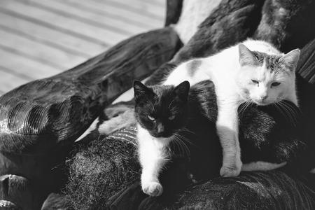 灰色の背景の外に晴れた日に椅子のドルイド膝に黒と白の2匹のかわいい猫が休む