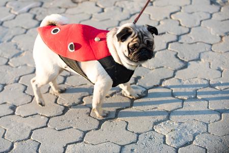 赤いコートを着た犬やパグドッグは、屋外で晴れた日に歩道を歩きます。ペットファッションコンセプト。友人,仲間,共感
