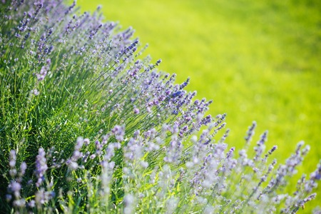 Beauty of nature. Lavender blossoming on sunny field. Bloom, flowering, aroma concept. Flowers with violet petals on green grass landscape. Summer or spring season.