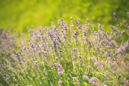 Summer or spring season. Lavender blossoming on sunny field. Bloom, flowering, aroma concept. Flowers with violet petals on green grass landscape. Beauty of nature.