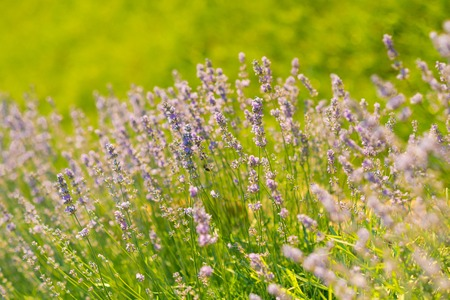 Bloom, flowering, aroma concept. Flowers with violet petals on green grass landscape. Beauty of nature. Lavender blossoming on sunny field. Summer or spring season.