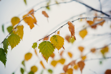 Late autumn or early winter nature. Tree leaves covered with ice on blurred sky background. Freezing, cold snap, temperature, snowfall. Christmas, xmas, new year, eve, holidays celebration.