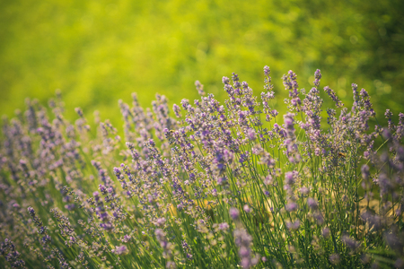 Lavender blossoming on sunny field. Beauty of nature. Bloom, flowering, aroma concept. Flowers with violet petals on green grass landscape. Summer or spring season.