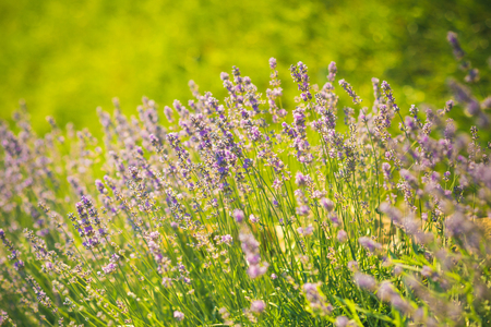 Lavender blossoming on sunny field. Bloom, flowering, aroma concept. Beauty of nature. Summer or spring season. Flowers with violet petals on green grass landscape.