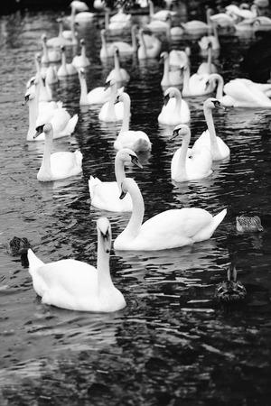 ミュート白鳥やアヒルの水鳥の野鳥は、川や湖の背景に青い水の上で泳ぐ 写真素材