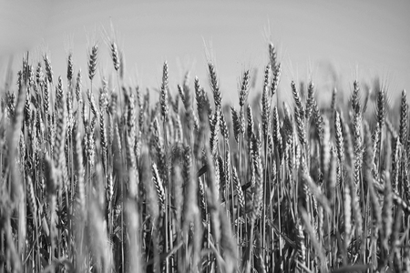 Golden wheat spikelets on field ripe crop before harvesting on summer day on blue sky background Banco de Imagens