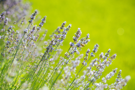 Lavender flowers blooming on green field. Beauty of nature concept
