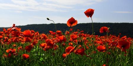 양 귀 비 꽃 필드 수확. 필드, 마약의 양귀비 씨앗 꽃