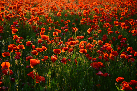 Remembrance Day also known as Poppy or Armistice day: Poppy flower. Great also for Anzac Day. Remembrance Poppy banner or card template. Stock Photo