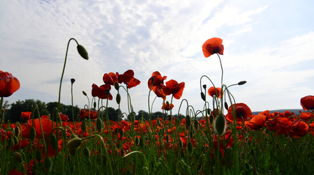 Summer and spring, landscape, poppy seed. Poppy flower field, harvesting. Drug and love intoxication, opium, medicinal. Opium poppy, botanical plant, ecology. Remembrance day, Anzac Day, serenity.