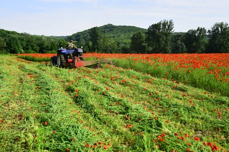 rich harvest, spring season, industrial transport. agronomist man on tractor, poppy flower. narcotics and drug. farming, new technology, agriculture, summer. man work in poppy field on tractor.