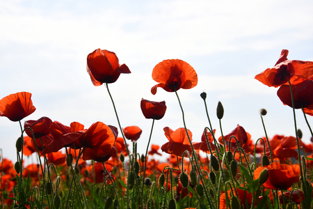 Drug and love intoxication, opium, medicinal. Poppy flower field, harvesting. Opium poppy, botanical plant, ecology. Summer and spring, landscape, poppy seed. Remembrance day, Anzac Day, serenity. Stock Photo