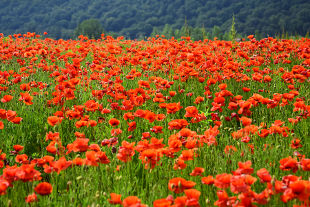 Remembrance day, Anzac Day, serenity. Opium poppy, botanical plant, ecology. Drug and love intoxication, opium, medicinal. Poppy flower field, harvesting. Summer and spring, landscape, poppy seed.
