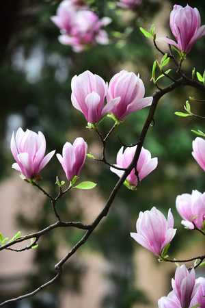 Magnolia flower bloom on blurred background. Spring season concept. Blossom of magnolia tree on sunny day, spring flower. New life awakening. Nature, beauty, environment. 免版税图像