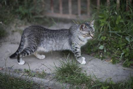 Feline, domestic animal, mammal. Cute cat with grey fur walk on garden path on summer day. Pet, companion, friend.