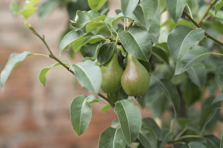 Pear branch with green fruits, leaves on tree. Vitamin, healthy diet, dieting, health. Pear garden, nature. Food, vegetarian, natural, organic. Spring or summer season