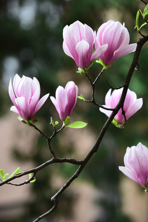 Magnolia flowers blossoming on blurred background. Blossom, bloom, flowering. Nature, beauty, environment. Spring season concept. New life awakening. 免版税图像