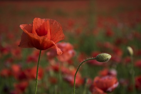 Opium poppy, botanical plant, ecology. opium, drug and love intoxication, narcotics