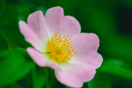 Dog rose, rosa canina with green leaves, beauty. Wild rose flower blossoming on shrub, spring. Bloom, blossom, flowering. Spring, nature, beauty.