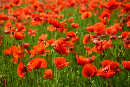 Drug and love intoxication, opium, medicinal. Opium poppy, botanical plant, ecology. Remembrance day, Anzac Day, serenity. Flower field of red poppy seed, harvesting. Summer and spring, landscape.
