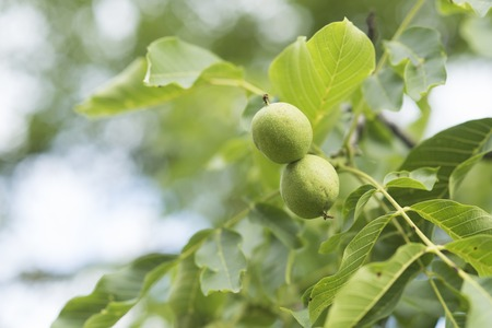 Walnut nuts in green husk on tree on natural background. Growth, spring, summer, nature. Food, seed, organic, health, vegetarian.