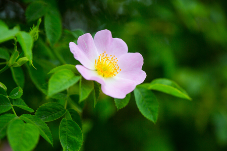 Wild rose flower blossoming on shrub, spring. Dog rose, rosa canina with green leaves, beauty. Bloom, blossom, flowering. Spring, nature, beauty. 版權商用圖片 - 95743684