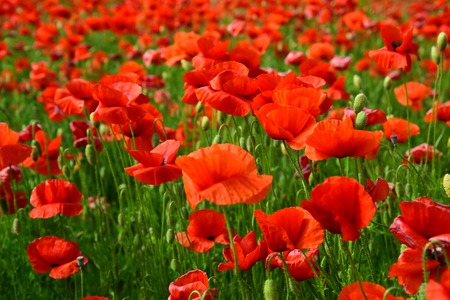 Remembrance day, Anzac Day, serenity. Opium poppy, botanical plant, ecology. Poppy flower field, harvesting. Summer and spring, landscape, poppy seed. Drug and love intoxication, opium, medicinal.