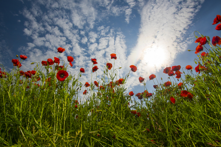 ecology and invironment. ecology, poppy flower field, narcotics