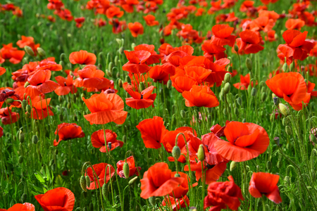 Opium poppy, botanical plant, ecology. Poppy flower field, harvesting. Drug and love intoxication, opium, medicinal. Summer and spring, landscape, poppy seed. Remembrance day, Anzac Day, serenity. 免版税图像 - 95743770