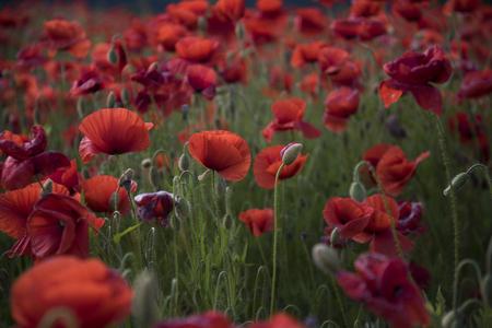 花赤いポピーは野生のフィールドに咲きます。選択的な焦点を持つ美しいフィールド赤いポピー。柔らかい光の中の赤いポピー。アヘンポピー。天 写真素材